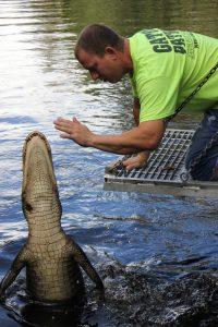 alligator saut