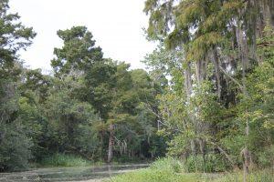 arbres bayou