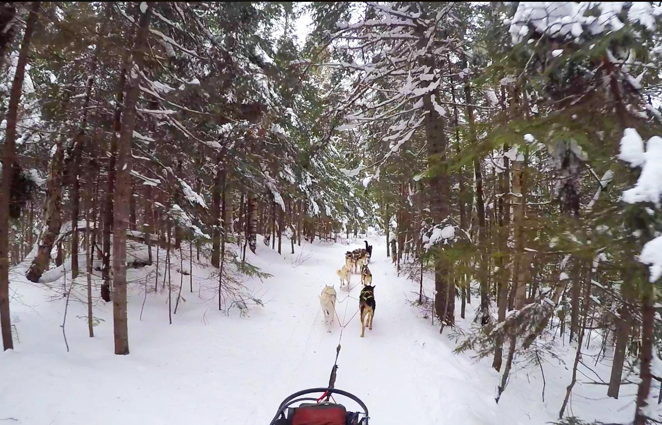 chiens traîneau forêt